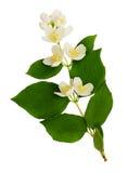 Philadelphus flowers and leaves Stock Image