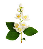 Philadelphus flowers and leaves. Isolated on white Stock Photos