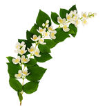 Philadelphus flowers and leaves wave arrangement. Isolated on white Royalty Free Stock Photography