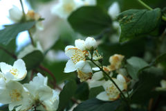 Philadelphus. Garden bush. Blooming bush of a philadelphus growing in a summer garden Royalty Free Stock Photos