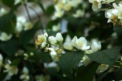 Philadelphus. Garden bush. Blooming bush of a philadelphus growing in a summer garden Stock Photography