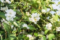 Philadelphus/gelsomino bianco/pianta inglese del corniolo in tempo soleggiato Fotografia Stock