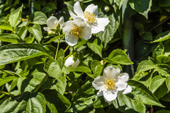 Philadelphus L. (mock-orange). Royalty Free Stock Photography
