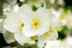 Philadelphus Lemoinei hibridus Royalty Free Stock Photos