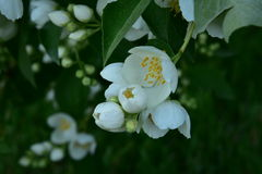 Philadelphus lewisii. Has a beautiful, delicate and fragrant flowers Royalty Free Stock Photo