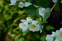 Philadelphus lewisii. Has a beautiful, delicate and fragrant flowers Stock Photography