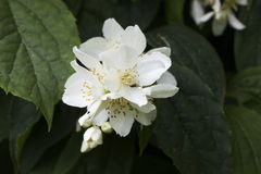 Philadelphus Royalty Free Stock Photography