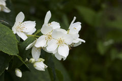 Philadelphus Stock Photos
