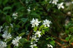 Philadelphus. Summer garden. Flowers of the philadelphus blossoms in the summer garden Royalty Free Stock Photo