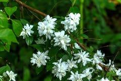 Philadelphus. Summer garden. Flowers of the philadelphus blossoms in the summer garden Stock Photography
