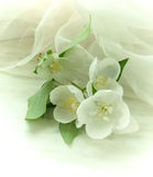 Philadelphus-Virginal Stock Photography