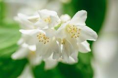 Philadelphus, weiße Blumen Spott-orange Weichschrot Lizenzfreie Stockfotos