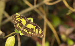 Philaethria dido butterfly Stock Photography