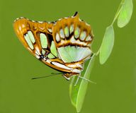 Philaethria Dido Butterly on Green. A philaethria dido butterfly clinging to green leaves on a green background stock photo