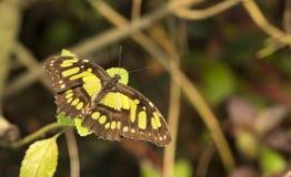 Philaethria dido motyl fotografia stock