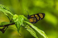 Philaethria wernickei butterfly on wet green leaves Royalty Free Stock Photography