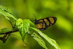 Philaethria wernickei motyl na mokrych zielonych liściach Fotografia Royalty Free