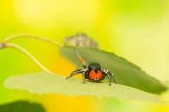 Philaeus chrysops - Jumping spider Stock Photos