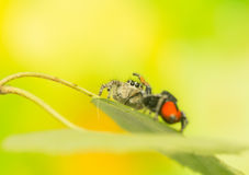 Philaeus chrysops - Jumping spider Royalty Free Stock Photography