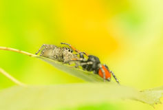 Philaeus chrysops - Jumping spider Royalty Free Stock Images