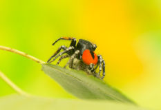 Philaeus chrysops - Jumping spider Royalty Free Stock Image
