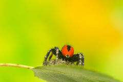 Philaeus chrysops - Jumping spider Royalty Free Stock Photo