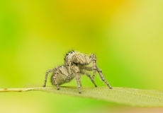 Philaeus chrysops - Jumping spider Stock Photo