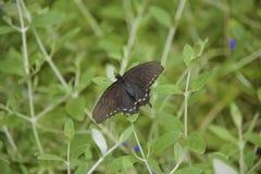 Philenor battus πεταλούδων Στοκ εικόνα με δικαίωμα ελεύθερης χρήσης