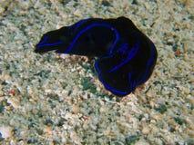 Philinopsis gardineri headshield slug on sand, Raja Ampat, Indonesia Royalty Free Stock Photography