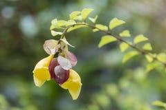 Philippensis Gmelina стоковое фото rf