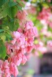 Philippica di Mussaenda o Bangkok Rosa fotografia stock