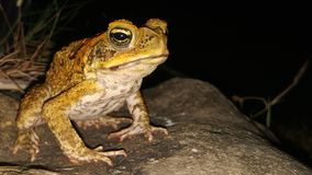 Philippine Bullfrog stock images