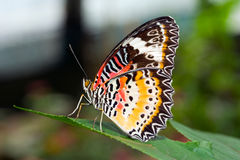 A Philippine butterfly Royalty Free Stock Photo