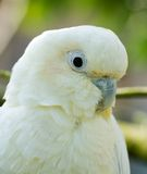Philippine Cockatoo. Endangered species of cockatoo in a zoo royalty free stock images