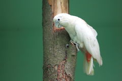 Philippine cockatoo Stock Photography