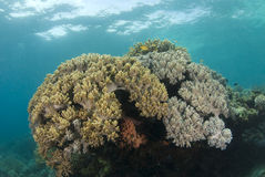 Philippine Coral Head Royalty Free Stock Photos