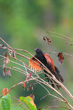 Philippine Coucal Royalty Free Stock Photo