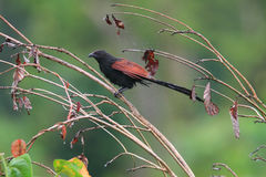 Philippine Coucal Royalty Free Stock Image