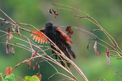 Philippine Coucal Stock Image