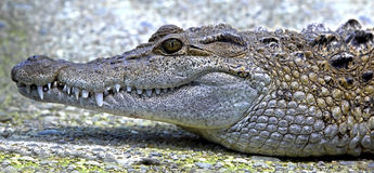 Philippine crocodile 1 Royalty Free Stock Photos