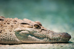 Philippine crocodile Stock Images