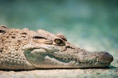 Philippine crocodile stock images