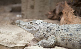 Philippine Crocodile Crocodylus Mindorensis. Laying on rocks Stock Photo