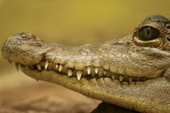 Philippine crocodile Crocodylus mindorensis critically endangered. Close macro portrait of a Philippine crocodile Crocodylus mindorensis critically endangered stock photos