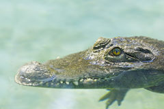 Philippine crocodile  lurks Stock Image
