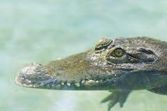Philippine crocodile  lurks Stock Image