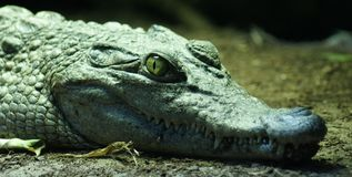 Philippine Crododile - Crocodylus mindorensis Royalty Free Stock Photography