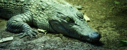 Philippine Crododile - Crocodylus mindorensis Stock Image