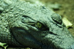 Philippine Crododile - Crocodylus mindorensis Royalty Free Stock Images