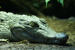 Philippine Crododile - Crocodylus mindorensis Stock Images